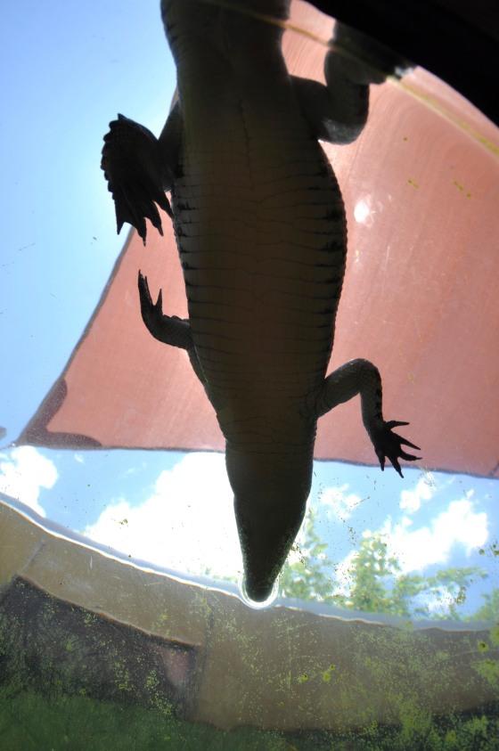 Crocodiles in Darwin