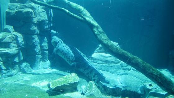 Giant croc!