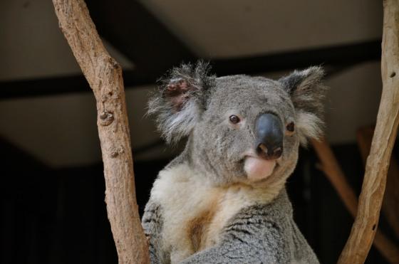 Cute koala!