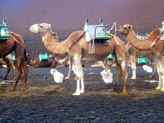 Camels at the base