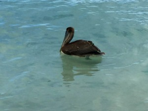 Pelican at Magen's Bay