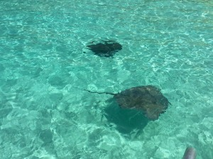Stingrays swimming