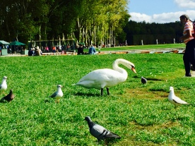 Swan friend